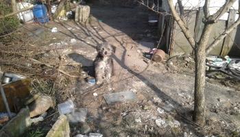 pies na działakch